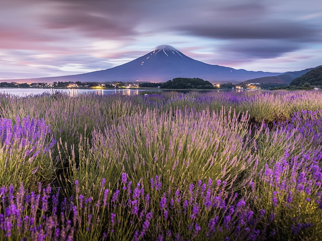 Lavender fields and Mount Fuji view from Oishi Park