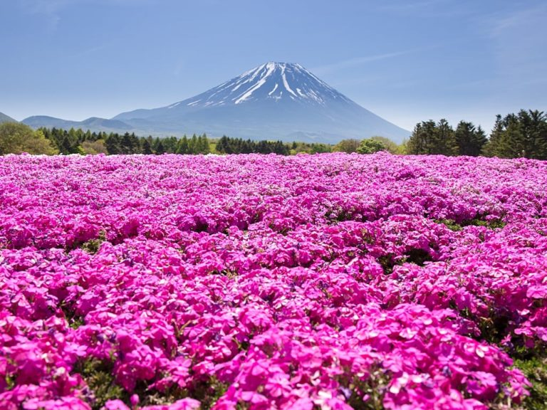 Fuji shibazakura in May