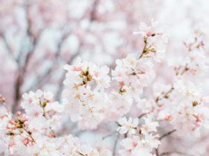 Beautiful Cherry blossoms in maizuru castle park
