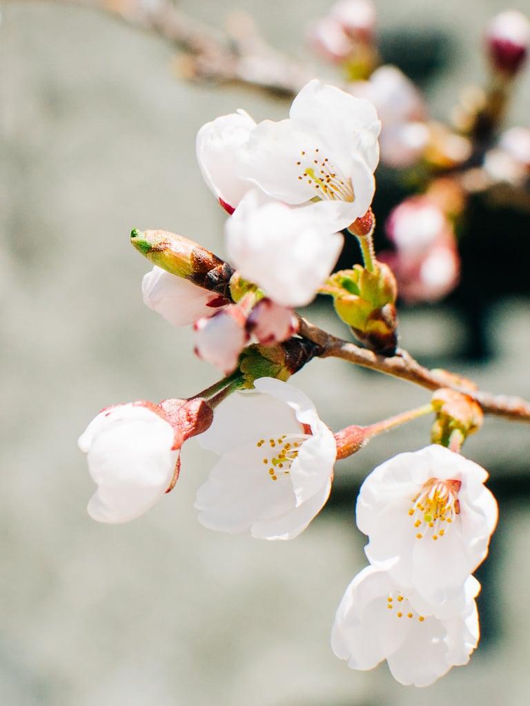 Hiking Mt Tenjo in Lake Kawaguchi - some cherry blossoms