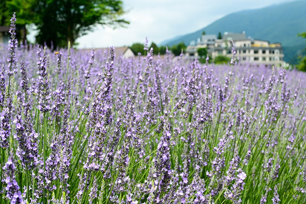 Yagisaki Park during lavender season