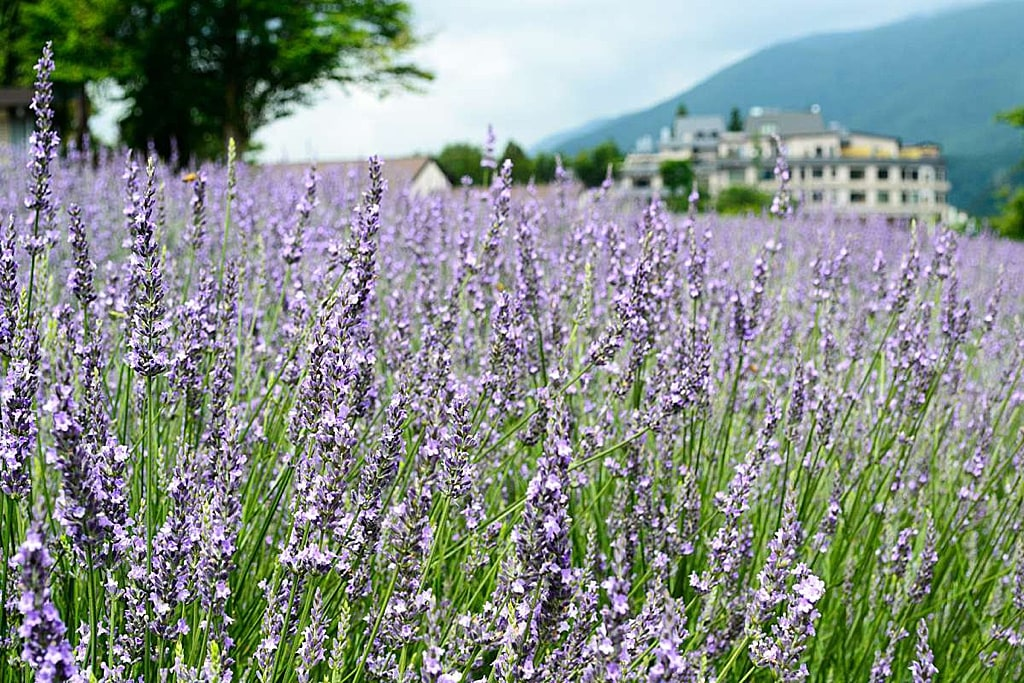 Yagisaki Park in summer is full of lavender