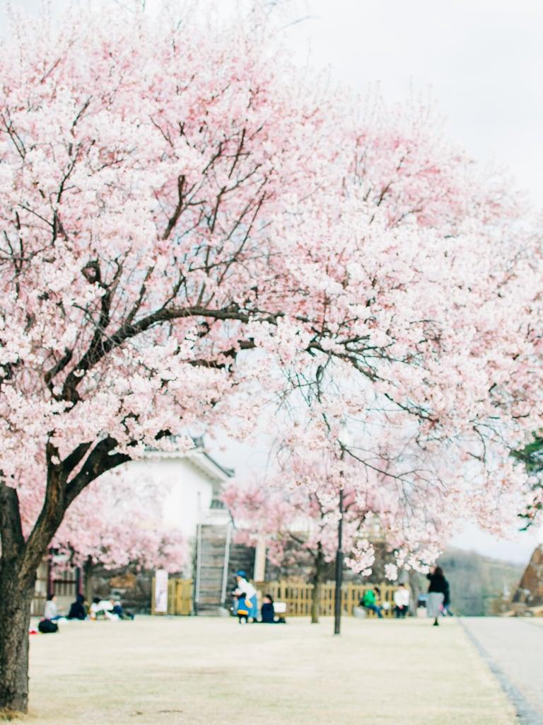 maiziru castle kofu cherry blossoms