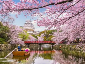 Himeji Castle during cherry blossoms
