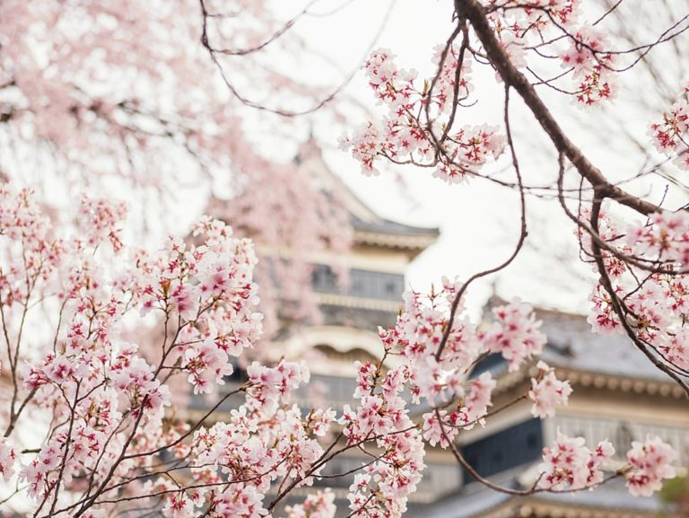 Matsumoto Castle during cherry blossoms