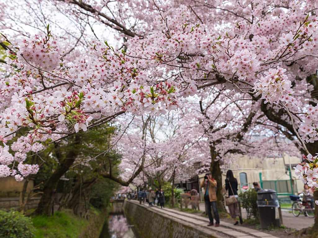 Philosophers Path in Kyoto during cherry blossoms